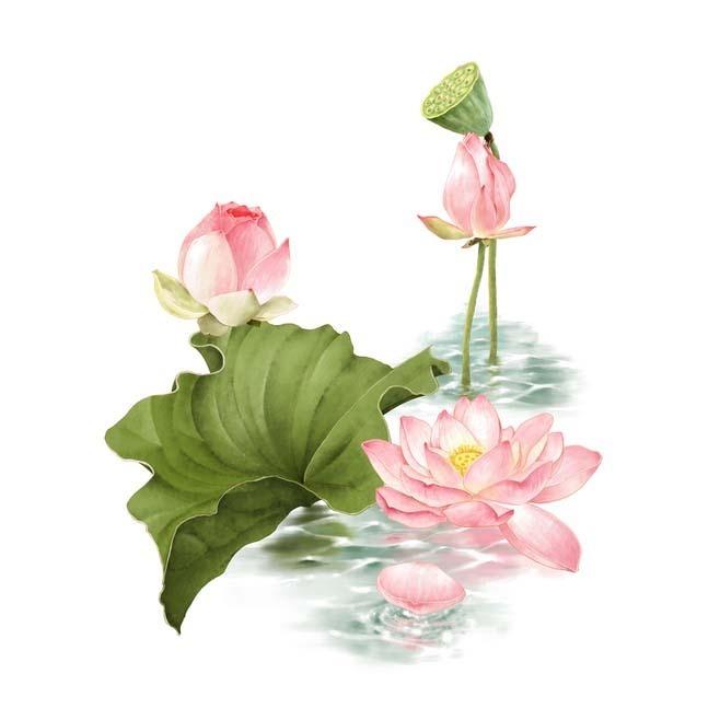 荷花 植物 花卉 荷叶 花朵 手绘荷花 设计元素 免抠素材 立即下载