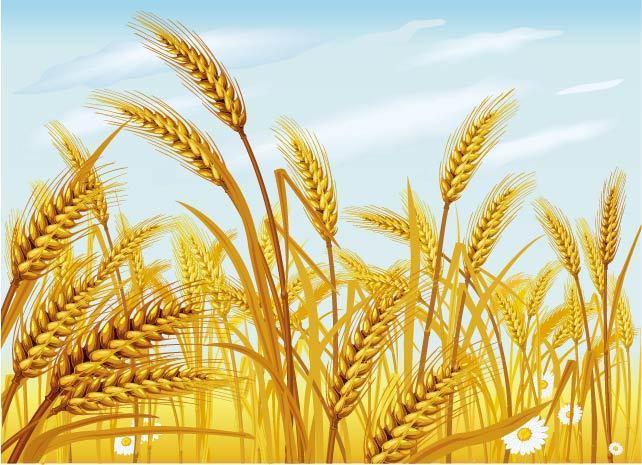小麦 植物 食物 矢量小麦素材 手绘小麦 卡通小麦 设计元素 立即下载
