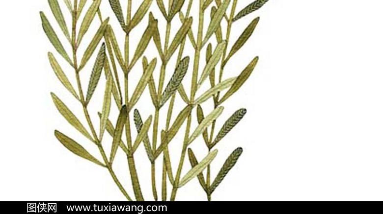 手绘盛开的薰衣草