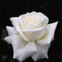 白玫瑰装饰画1