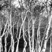 黑白树林装饰画4