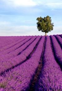 紫色薰衣草园玄关画