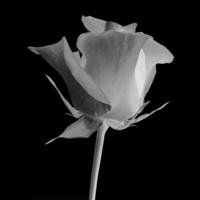 黑白玫瑰客厅装饰画2
